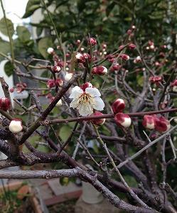 梅の花 (2)