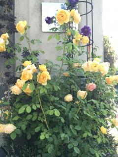 玄関横のバラ