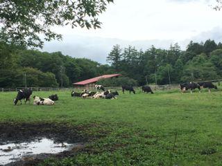 小岩井農場の牛